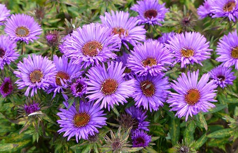 Photograph of asters