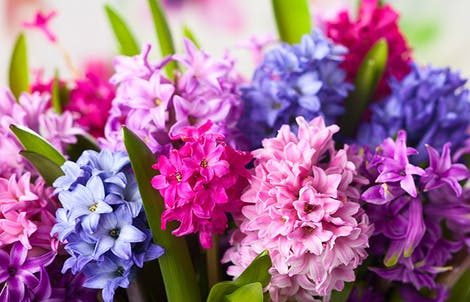 Photograph of hyacinths