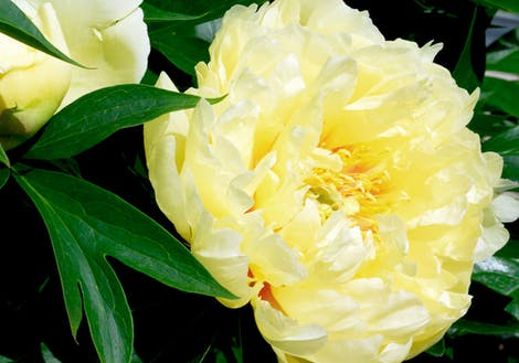 Close-up photograph of Yellow Peonies
