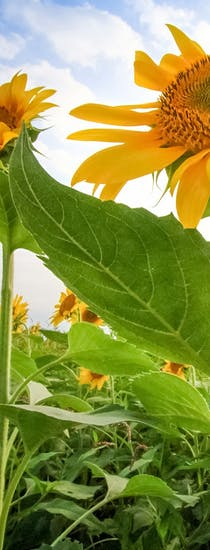 Vibrant sunflowers, growing in a field, framed before billowing white clouds and blue sky