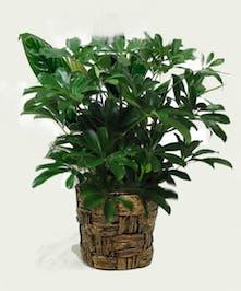 Arboricola plant in a basket.