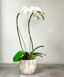 White Phalaenopsis double orchid in a ceramic cache pot with gold accents