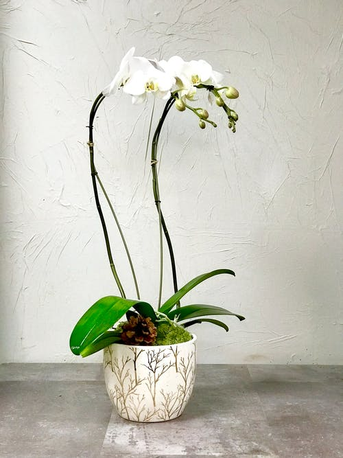 Holiday Orchid