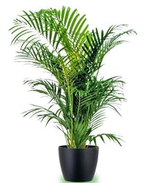 Areca palm plant in a charming container.