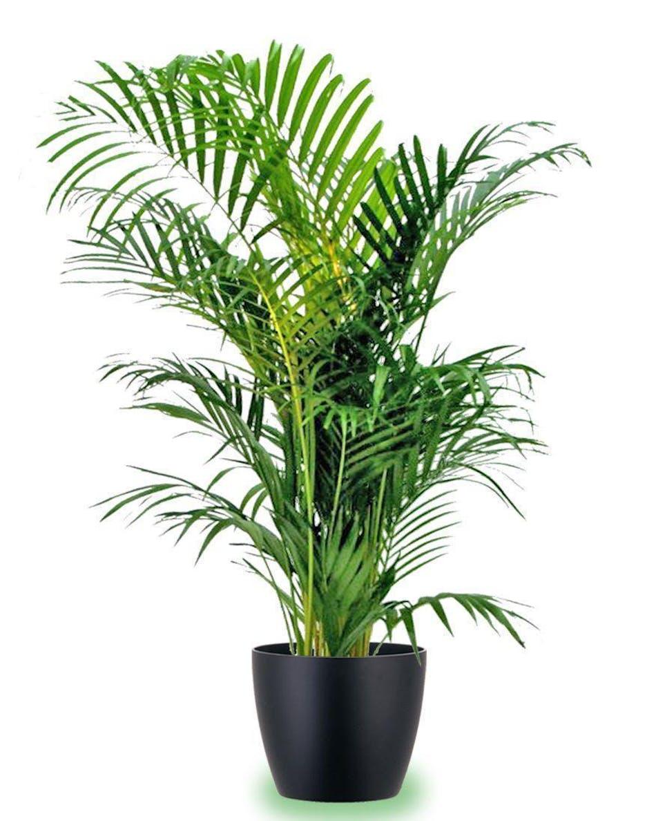 areca palm plant delivery tulsa jenks bixby ok