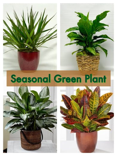 A variety of seasonal green plants available.