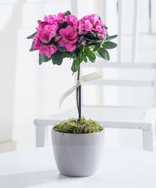 Pink azalea plant in a white pot.