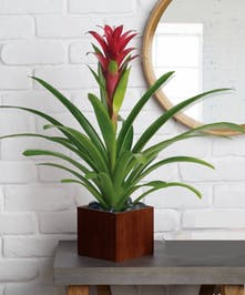 Bromeliad plant in a dark planter.