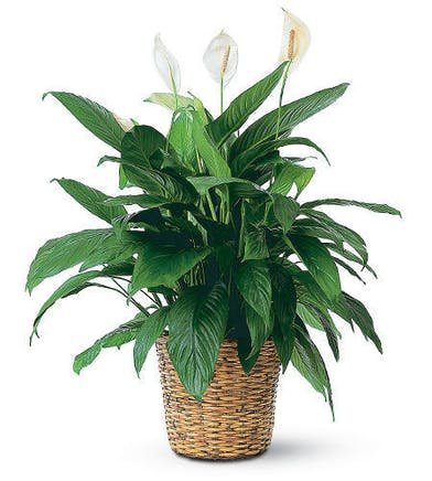 Peace lily plant in a charming woven basket container.