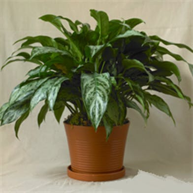 Chinese evergreen floor plant in a porcelain container.