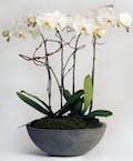 Quad Orchid