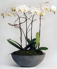 Four white orchids in a classic moss-covered container.