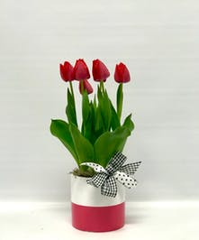 Tulip plant in a ceramic container.