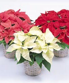 Poinsettia Plants - Mary Murray's Flowers