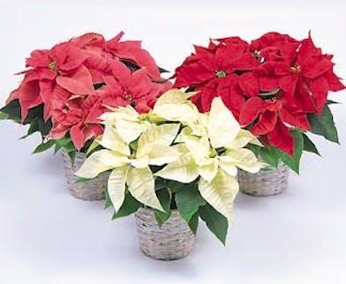 Poinsettia Plants - Mary Murray's Flowers
