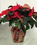 Poinsettia Plant III
