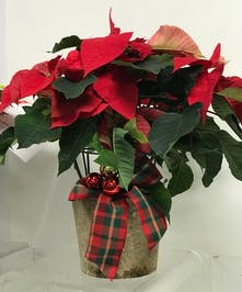 Christmas poinsettia plant adorned with ornaments and festive ribbon.