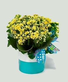 Kalanchoe plant in a teal and white planter.