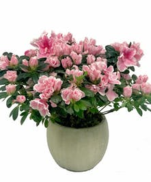 Pink azalea in a white ceramic pot.