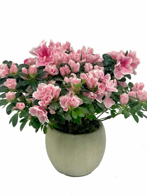 Pretty Pink Azalea Plant