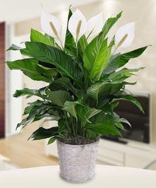 Peace lily plant in a white container.