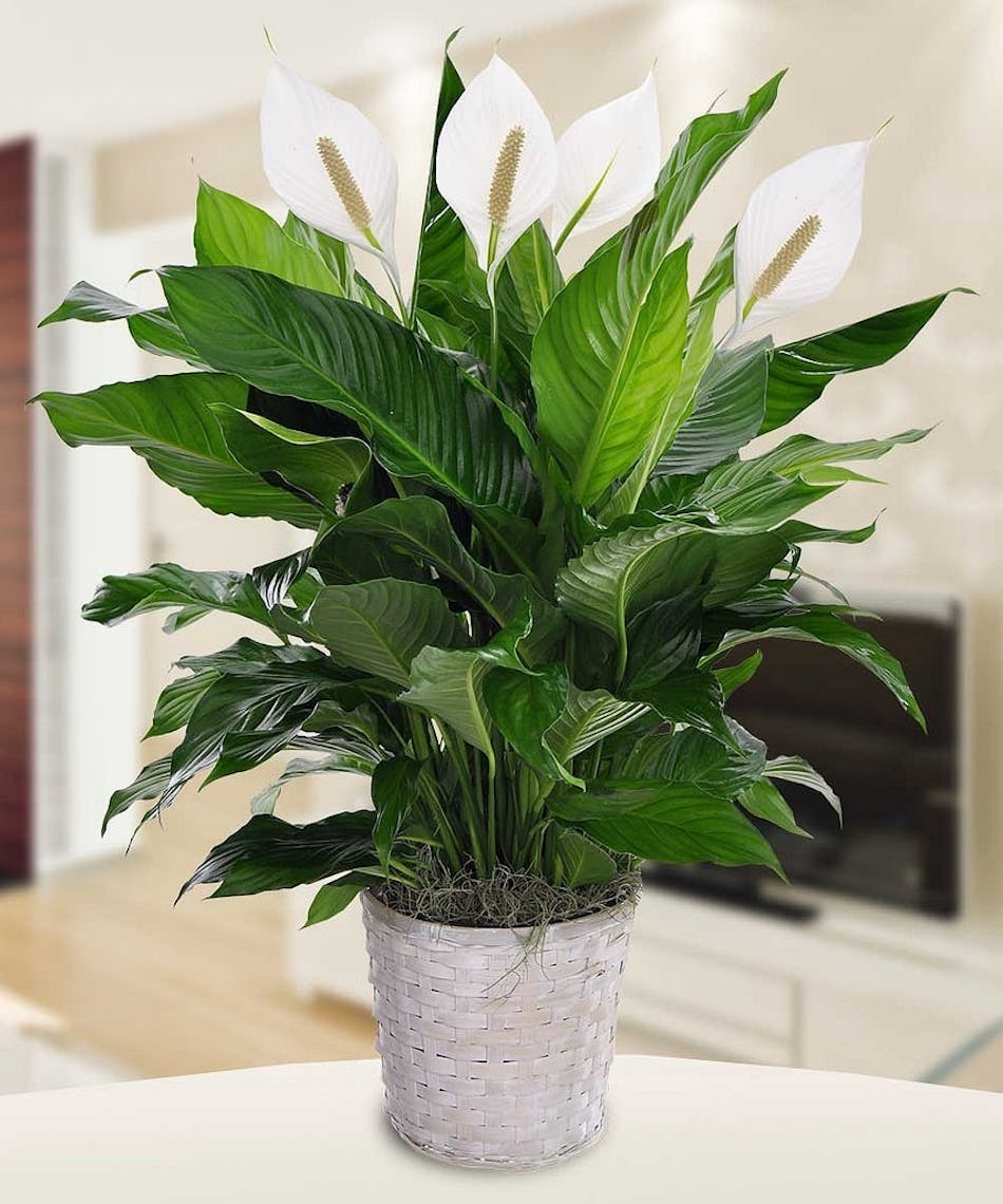 Peace Lily Plant Tulsa Ok Same Day Plant Delivery