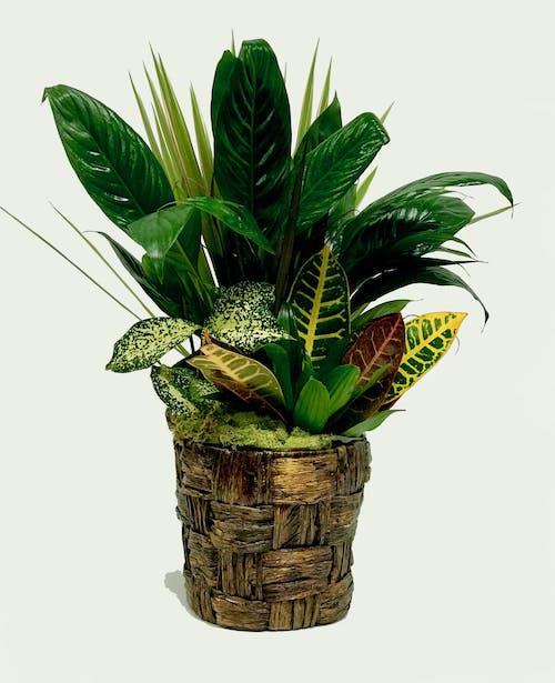 Banana Leaf Planter
