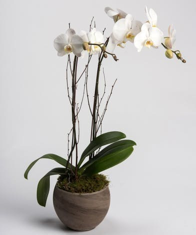 Two white orchid plants in a vase with moss.