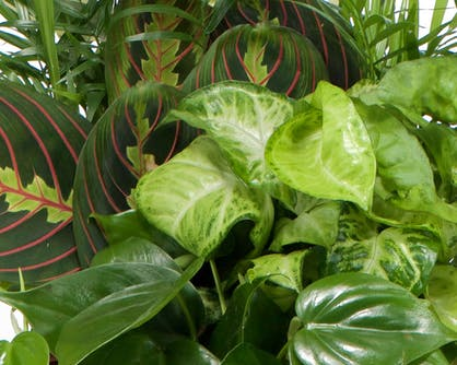 The soft, lush, green leaves of a potted plant